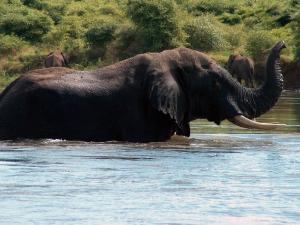 Zambezi, elephant